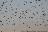 White StorkCiconia ciconia ciconia
