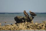 Black KiteMilvus migrans migrans
