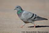 Rock PigeonColumba livia palaestinae