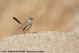Streaked Scrub WarblerScotocerca inquieta inquieta