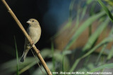 House SparrowPasser domesticus biblicus