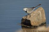 White WagtailMotacilla alba alba