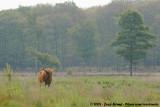 Highland CowBos taurus taurus (fm. highland)
