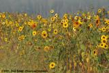 SunflowerHeliantus annuus