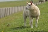 Texel's Sheep