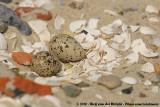 Common Ringed PloverCharadrius hiaticula hiaticula