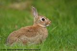European RabbitOryctolagus cuniculus cuniculus