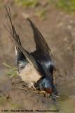 Barn SwallowHirundo rustica rustica