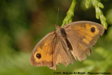 Meadow BrownManiola jurtina jurtina