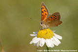 Small CopperLycaena phlaeas phlaeas