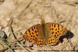 Queen of Spain FritillaryIssoria lathonia