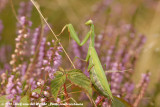 European Praying MantisMantis religiosa