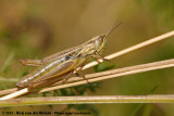 Sharp-Tailed GrasshopperEuchorthippus declivus