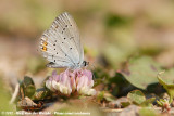 Short-Tailed BlueCupido argaides
