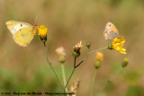 Pale Clouded Yellow - Colias hyaleand Small Heath - Coenonympha pamhilus pamhilus