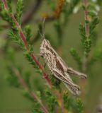 Bigittulus groupChorthippus biguttulus group