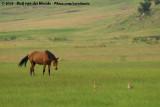 Birds and cattle together at the graslands of Wakkerstroom