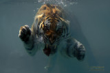 Fedor the Swimming Tiger