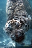 Odin the diving tiger