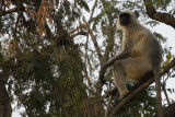 Langur, The Sariska Tiger Reserve