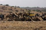 Camels during the Pushkar Fair
