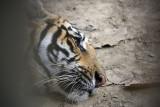 Tiger in captivity, Chitwan NP