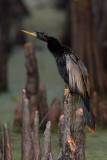 Anhinga after a Rain Shower