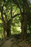 Tree path at the Iao Needle