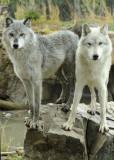 West Yellowstone captive wolves