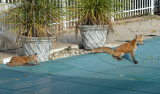 foxes taking a break on the pool cover