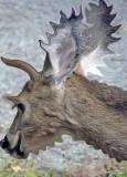 Experimental Deer
