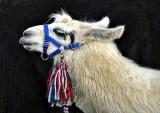 Patriotic Llama