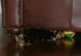 Ivy tries to retrieve a toy from under couch