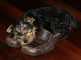 Ivy sleeps on Heather's shoes