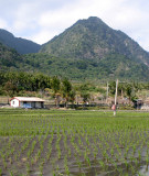 Rice Field, Drying Up