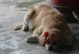 Dog at a Temple