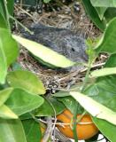 Baby Mourning Dove