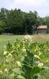 Duke Tobacco Farm