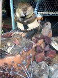 buck in wooden contemplation