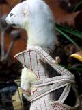 ferret fawcett - mouse papoose details