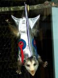 oneal the opossum (rawr!)