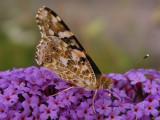 Butterfly in July