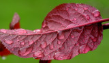 Rain on red leaf