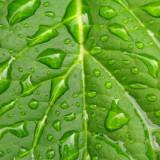Water on big leaf