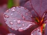 Detail on wet red bush
