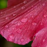 Rosy wet hibiscus