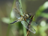 Dragonfly - top view