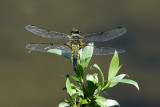 Dragonfly - rear view