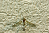 A long-legged insect inside my home