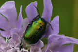 A bug with golden outer wings